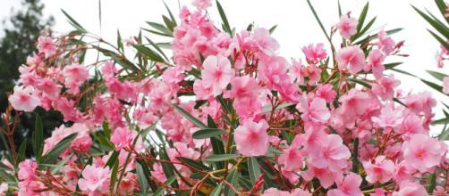 Oleander is one of the deadliest flowers. [Image via Pixabay]