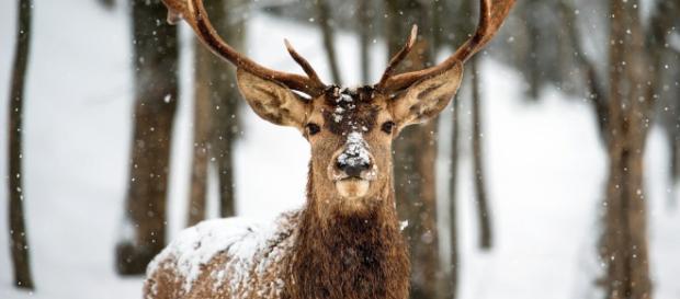"""Ciervos en al menos 22 estados de EE. UU han muerto a causa de una enfermedad neurológica llamada """"enfermedad crónica de desgaste"""""""