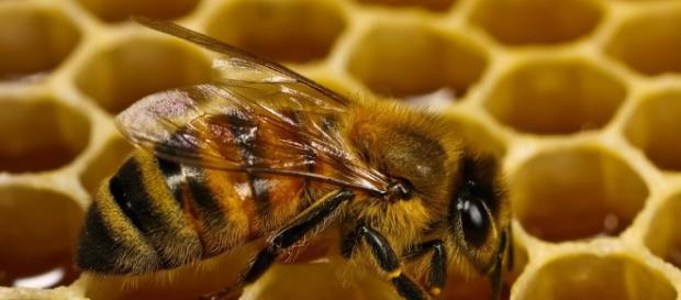 La abeja australiana sin aguijón Tetragonula carbonaria no es tu polinizador promedio