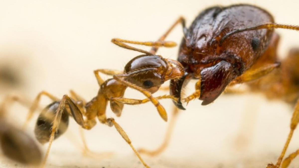 Imagen de las Hormigas argentinas