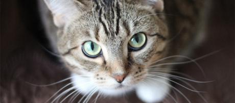 Si su gato se golpea con su pata izquierda, es probable que sea macho