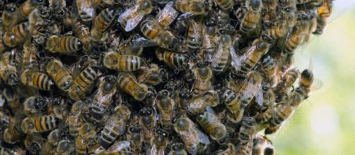 Cuando las colonias de abejas se vuelven más grandes, el sentido común sugiere que sería más ruidoso con más abejas zumbando alrededor.