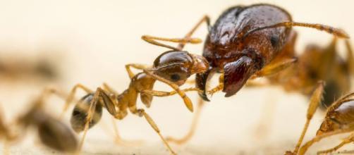 Hormiga Argentina – BICHOS Control de Plagas - bichoscp.com