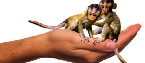 Le prime scimmie clonate al mondo
