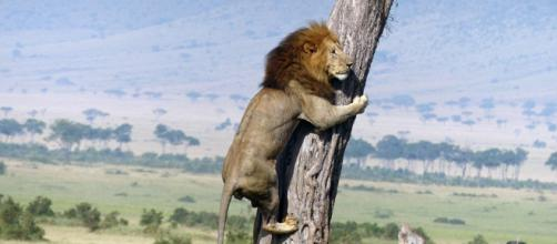 Leão não resiste a um lanchinho básico e é pego escalando uma árvore no parque nacional Greater Kruger