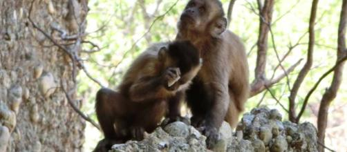 Las pedradas de estos monos se parecen demasiado a las de nuestros ... - elpais.com