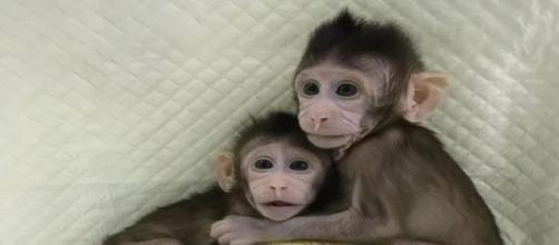 Le 2 scimmie clonate *da Corriere della Sera, Corriere.It (24 gennaio 2018)