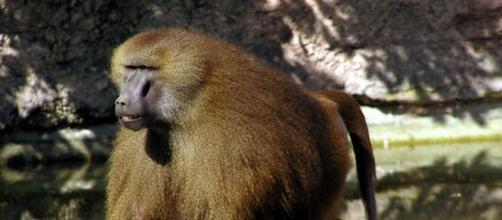 4 babouins (et non 50) se sont échappés de leur enclos au zoo de ... - sciencesetavenir.fr