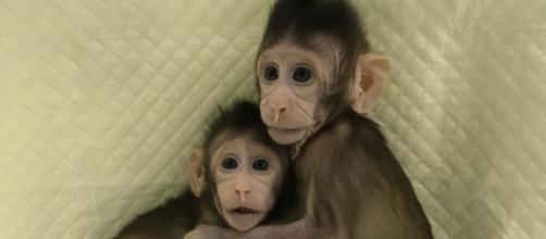 Zhong Zhong y Hua Hua: Son monos creador en china por medio de la clonación de tejidos.