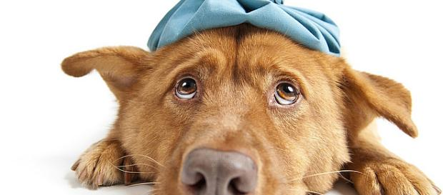 Dogs can get the flu just like humans can get the flu. [Image: ePublicist/Flickr]