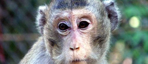 Scimmie utilizzate per i test sui gas di scarico, nuovo scandalo per l'auto tedesca