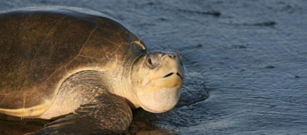 Tortuga golfina: Peligro de extinción, características y mucho más - hablemosdepeces.com