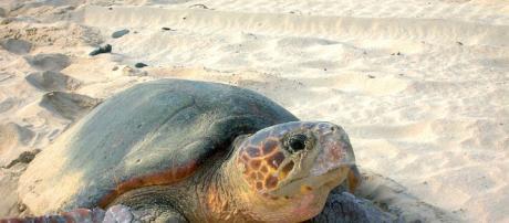 Cómo actuar en caso de avistamiento de tortuga marina en la playa ... - blogspot.com
