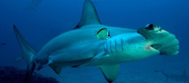 Galería de imágenes: Tiburones en el Mediterráneo. - tiburoneswiki.com