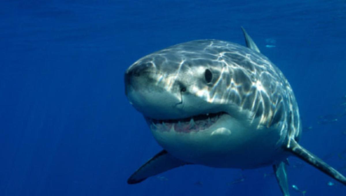 Ancestro común de tiburones y humanos vivió 440 millones de años atrás