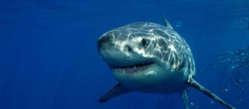El Tiburón Blanco - vidasalvaje.org