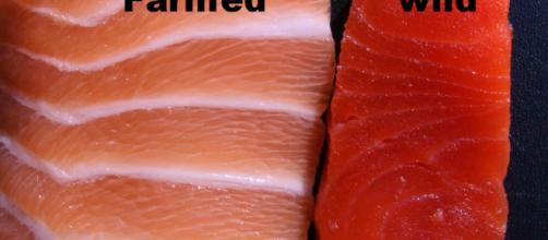 Il primo trancio di salmone è allevato, il secondo è pescato