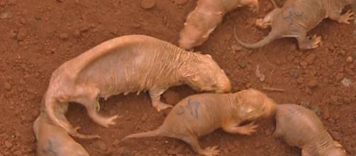 FOTOS] Conozca la rata topo, espeluznante animal que resiste 18 ... - hsbnoticias.com