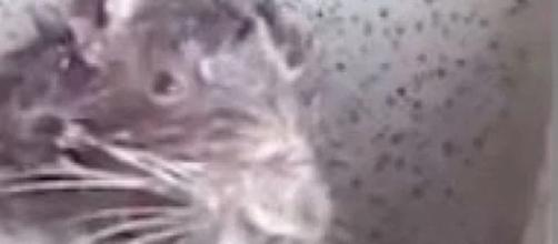 Il video del topo che si fa il bagno diventa virale e un etologo spiega la verità