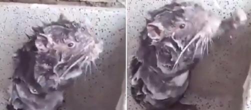 Vídeo mostra rato tomando banho (Captura de vídeo)