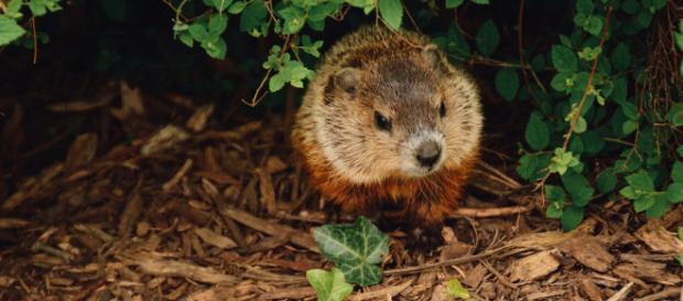 Groundhog. - [Photo by Abigail Lynn on Unsplash]