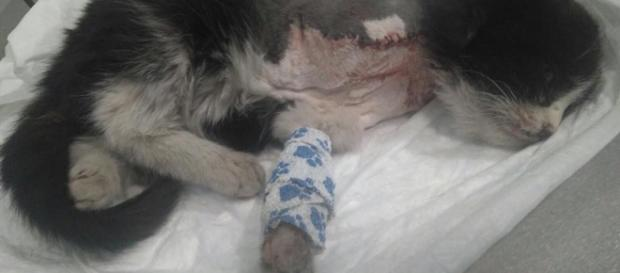 El gato al que le colocaron un petardo en el cuello por el que perdió una pata busca hogar. Foto: Madrid Felina.