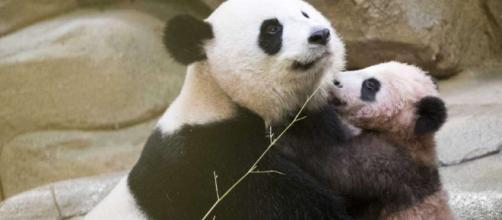 Bebé panda de Francia hace su primera aparición pública - New ... - nhregister.com
