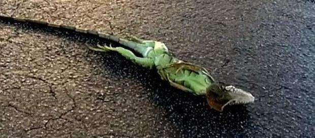 It has been so cold in Forida that iguanas are freezing and falling from trees [Image: Inside Edition/YouTube screenshot]