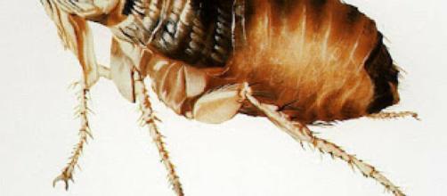Remedios caseros contra las pulgas   Mascotas - facilisimo.com