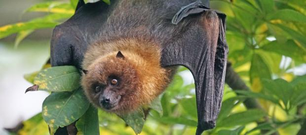 Australia's extreme heat wave is causing bat's brains to fry, with hundreds of thousands dying [Image credit: Pixabay]