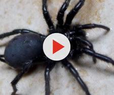 Un esemplare di Macrothele calpeiana, il ragno più grosso esistente in Europa, è stato trovato in Toscana.