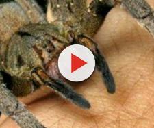 Il ragno 'iberico' più grande d'Europa è stato avvistato anche in Italia.
