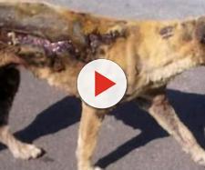 Il cagnolino con buona parte del corpo bruciata