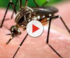 Ricercatori hanno scoperto che in Australia il batterio 'mangiacarne' si diffonde con la puntura di zanzara.