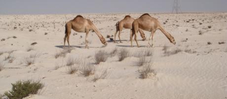 Q Camels Grazing by Journey Jeff's Pix (Flickr)