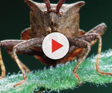 Cimici asiatiche: la vespa samurai potrebbe sconfiggerle