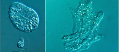 """Ameba que """"como cérebro"""" é encontrada em lagos, rios e piscina sem tratamento. Foto: reprodução."""