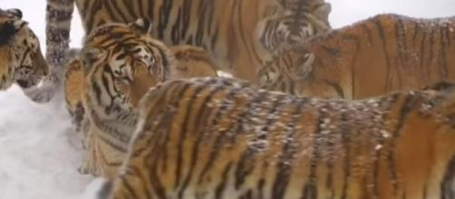 Siberian tigers are farmed in China's Heilongjiang Province. [Image source: Amazing World/YouTube]