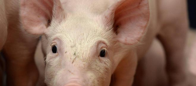 Europe : la peste porcine africaine fait son nid