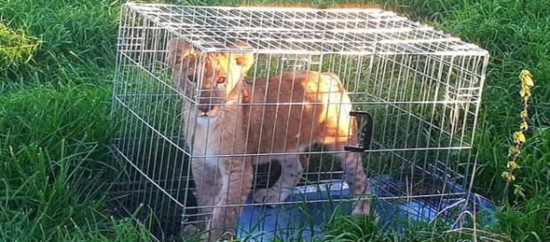 A jogger found a four-month-old lion cub in a cage in a field in the Netherlands. [Image courtesy PolitieStichtseVecht]