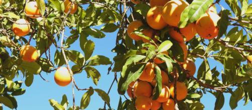 Árvores Frutíferas precisam de 28 dias para amadurecer, após esse período elas produzem um fruto por dia em sua devida estação.