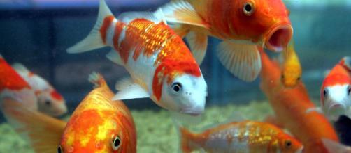 As espécies de peixes para aquário variam conforme o ambiente