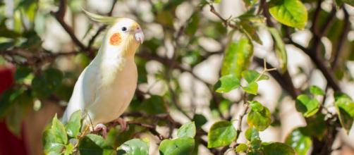 Calopsitas estão entre as principais escolhas de quem deseja ter uma ave de estimação.