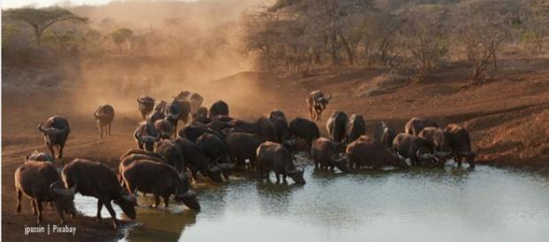 Buffalo kills hunter - the hunting debate ranges on - Imafe credit - jpussin   Pixabay