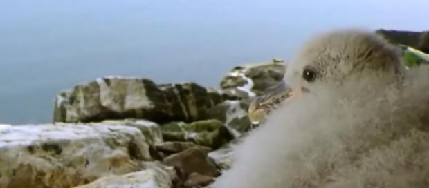 Fulmar chicks projectile vomit dealdy oil on predatory seabirds - Image credit - Zapping Sauvage | YouTube