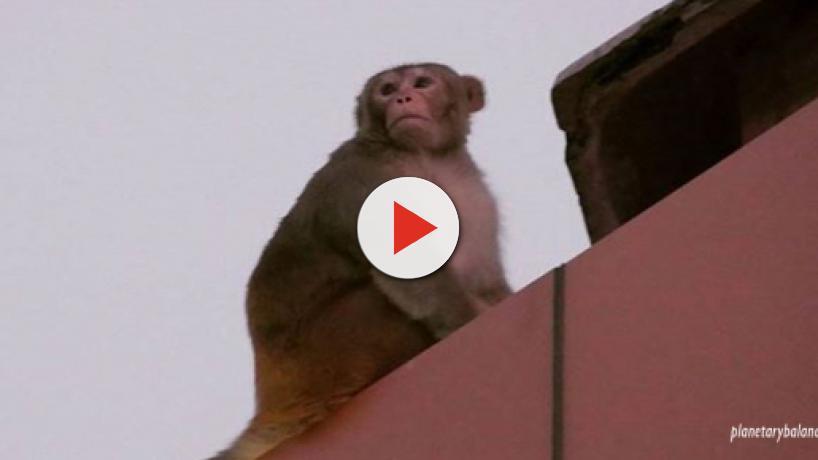 India: Aggressive monkeys abduct human babies, kill adults