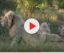 The return of the white lion. [Image source/Lion Mountain TV YouTube video]