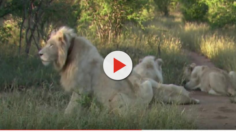 South Africa: The fate of the three-year-old rare white lion Mufasa is uncertain