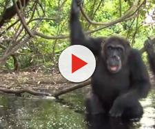 Chimps humanlike behavior in Senegal - Image credit - Chris Eckstrom | YouTube