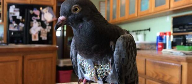 """A bird rescue centre in Arizona, USA is trying to find the owner of the """"Rhinestone Pigeon."""" [Image @MariaHechanova/Twitter]"""
